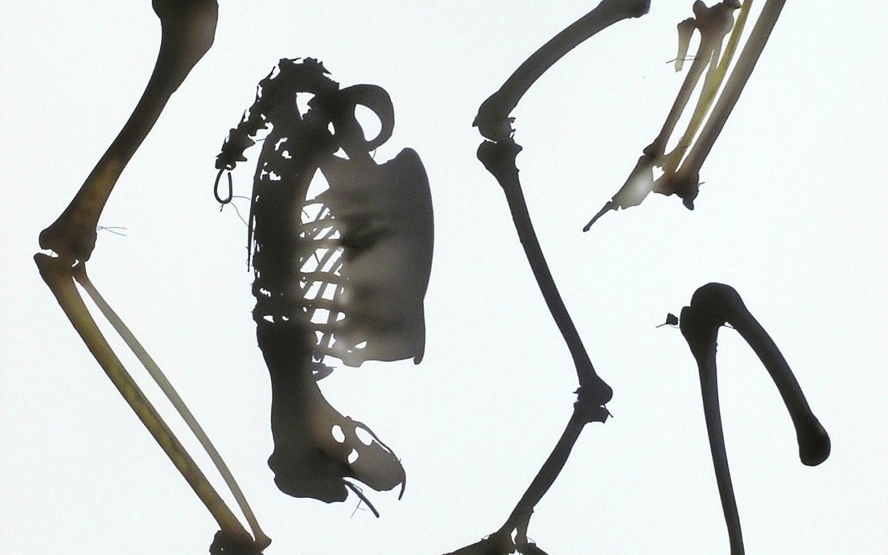 Fotogramm eines Steinadlergerippea