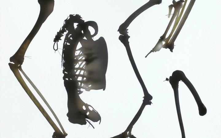 Photogram of a golden eagles skeletons