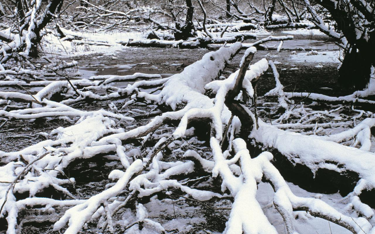 Snow-covered branches lie on the frosty ground of the Rhine meadows.