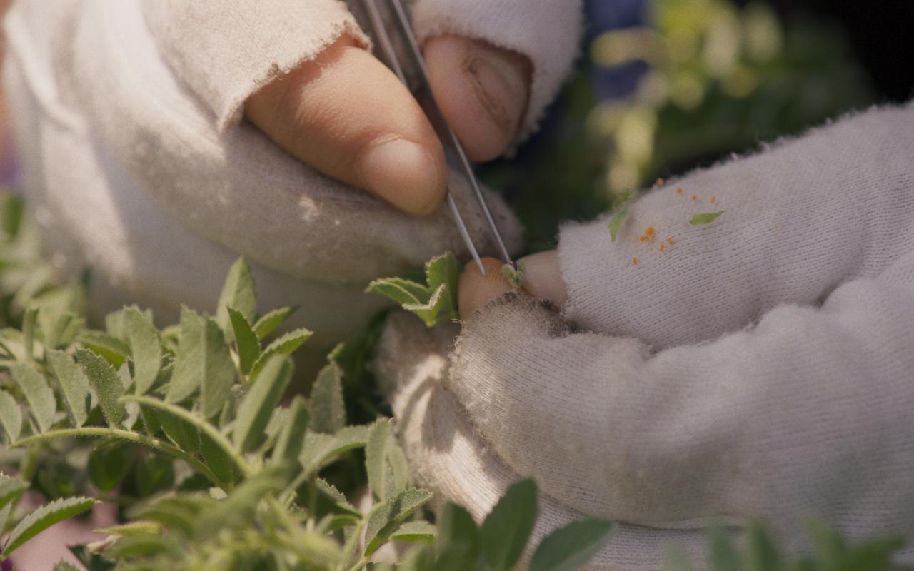 Detail-Foto von Händen mit weißen fingerlosen Handschuhen. Die rechte Hand hält eine Pinzette, daneben viele grüne Blätter.