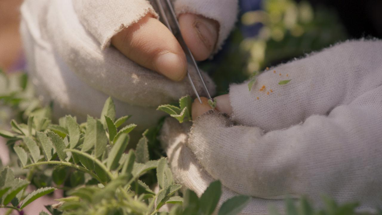 Detail photo of hands with white fingerless gloves. The right hand holds tweezers, next to it many green leaves.