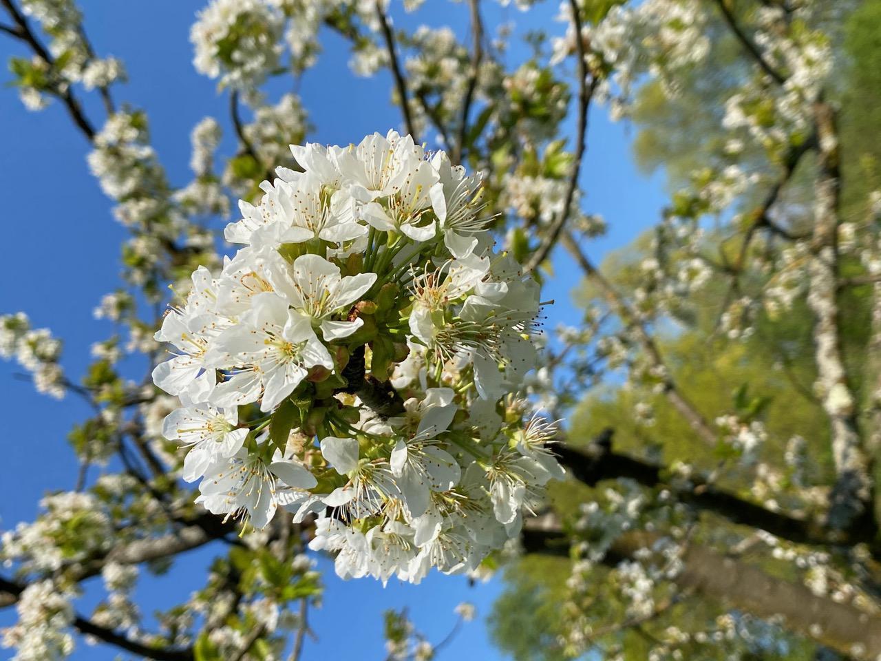 Foto einer Apfelblüte