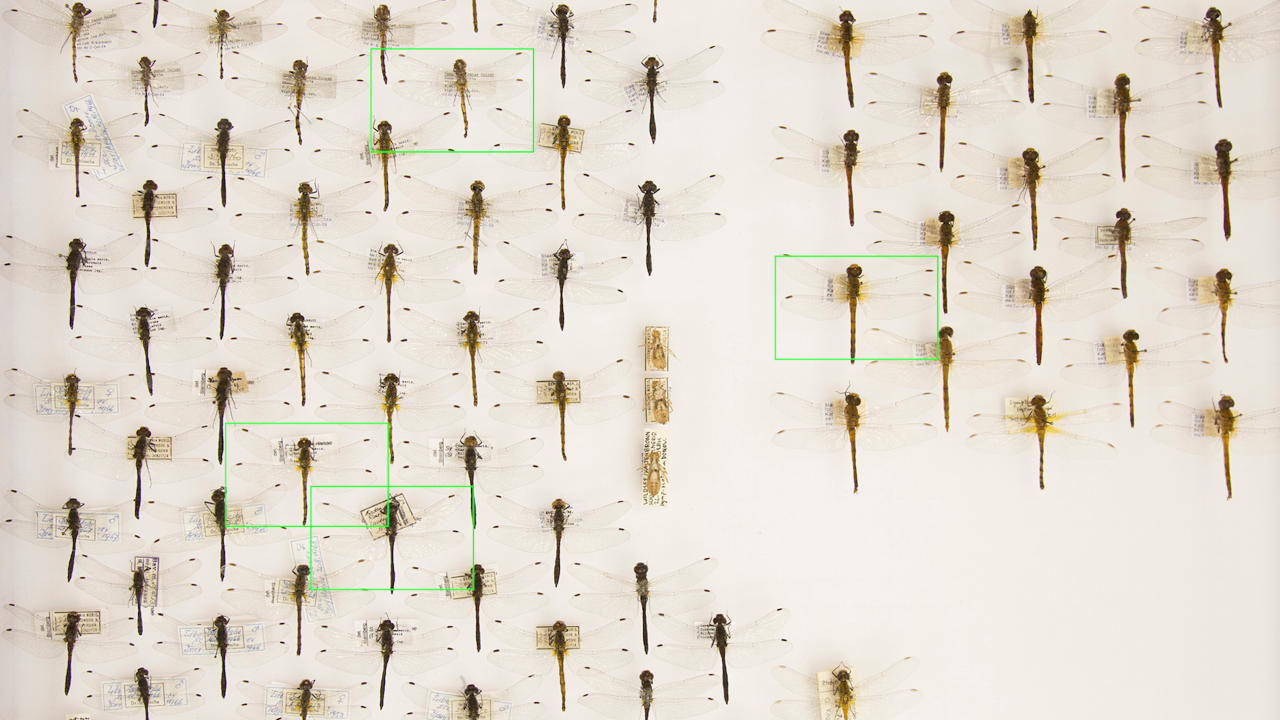 Pinned dragonflies on a wall.