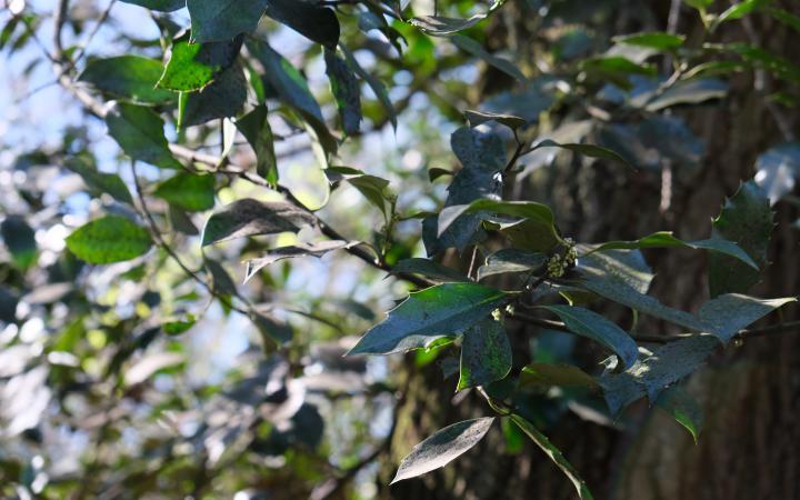 Das Foto zeigt einen Ast mit vielen Blättern der von einem großen alten Baum stammt.
