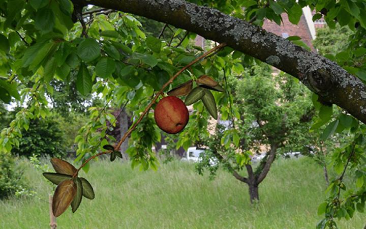 Auf einer Streuobstwiese ist ein virtueller Apfel an einem virtuellen Zweig zu sehen. Es sieht täuschend echt aus.