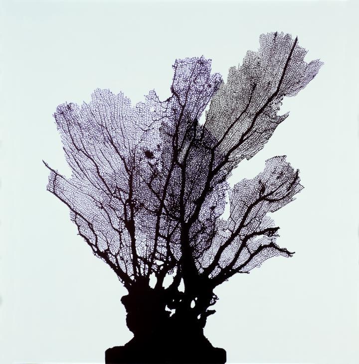 Koralle (Rhipidigorgia flabellum) Musée d'histoire naturelle, Fribourg Fotogramm, 71 x 70 cm, 2006
